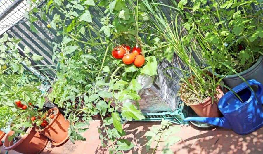 Tips on Growing a Balcony Kitchen Garden or Potager